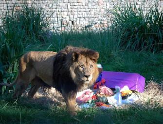 Plan para liberar a un león